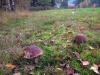 houby (1)