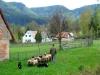 ovce-1.jpg