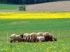 ovce-2.jpg