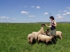 ovce-5.jpg