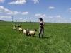 ovce-6.jpg