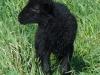 ovce-7.jpg