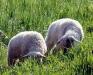 ovce.jpg