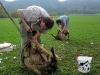 strihani-ovci-2