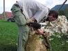 strihani-ovci-6