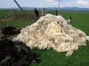 strihani-ovci-8