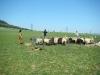 strihani-ovci-1