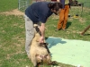 strihani-ovci-11