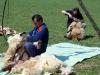 strihani-ovci-5
