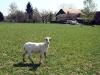 strihani-ovci-7