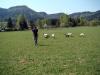 strihani-ovci-9