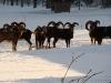 ovce-v-zime-1