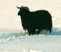 ovce-v-zime-2