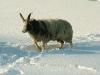 ovce-v-zime-3